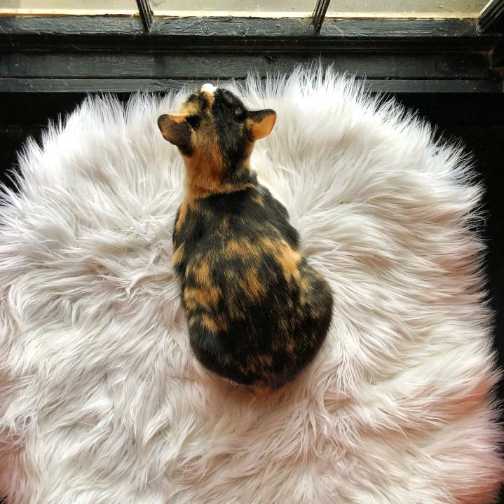 Frannie at Mac Tabby Cat Café