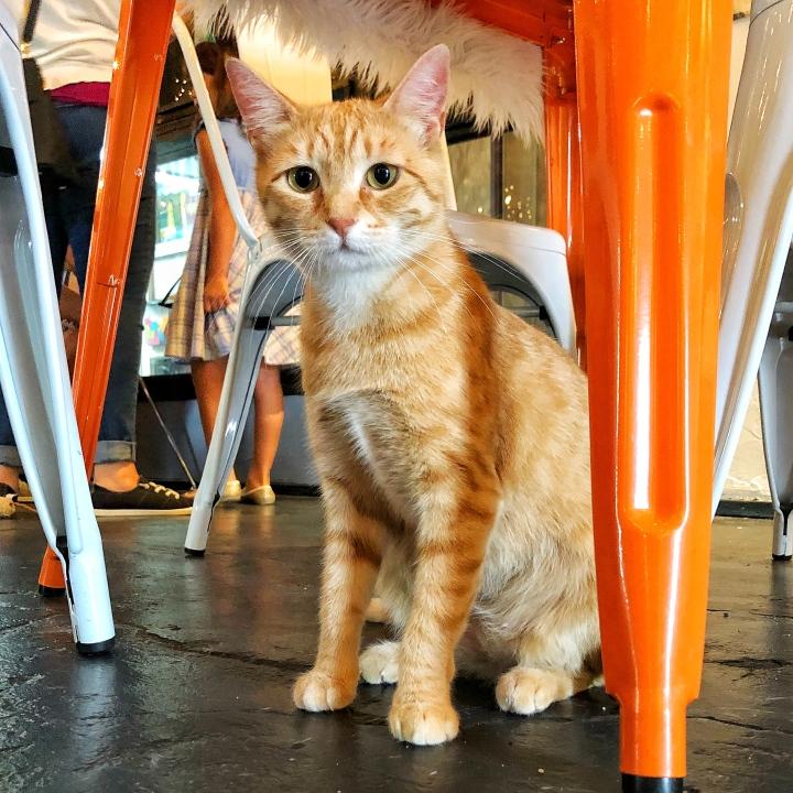 Reese at Mac Tabby Cat Café