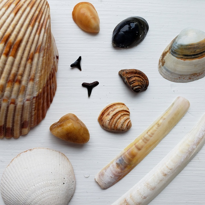 "Shells from the north end of Pawley's Island, including the Imperial Venus shell, often referred to as a ""Pawley's shell"""